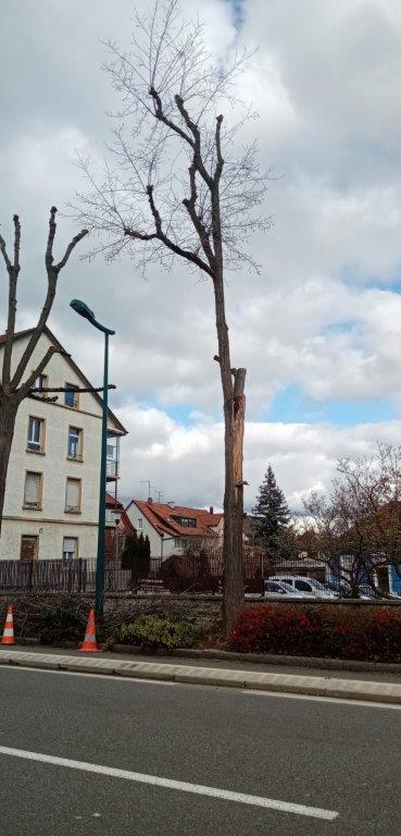 Abattage d'arbres malades avenue de Bâle